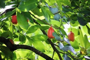 Ackee-Frucht auf Baum