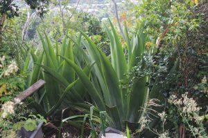 Aloe Vera in St.Lucia