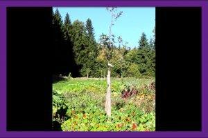 Kapuzinerkresse rundherum eines Apfelbaumes