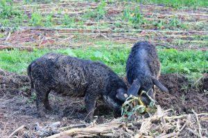 Wollschweine bearbeiten den Boden