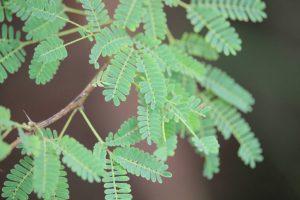 Leucanea-Blätter als Mulch