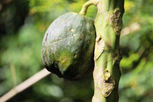 Papaya in St.Lucia