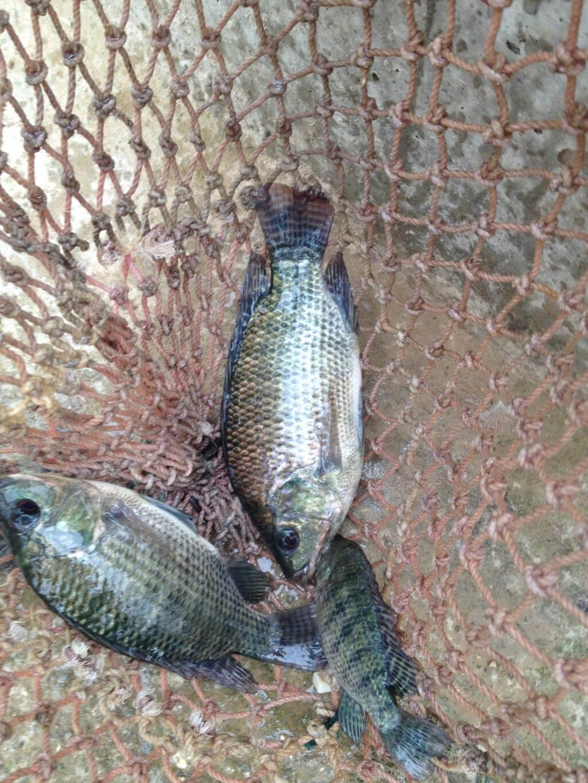 Grössere Tilapia-Fische von der Aquaponik-Anlagen