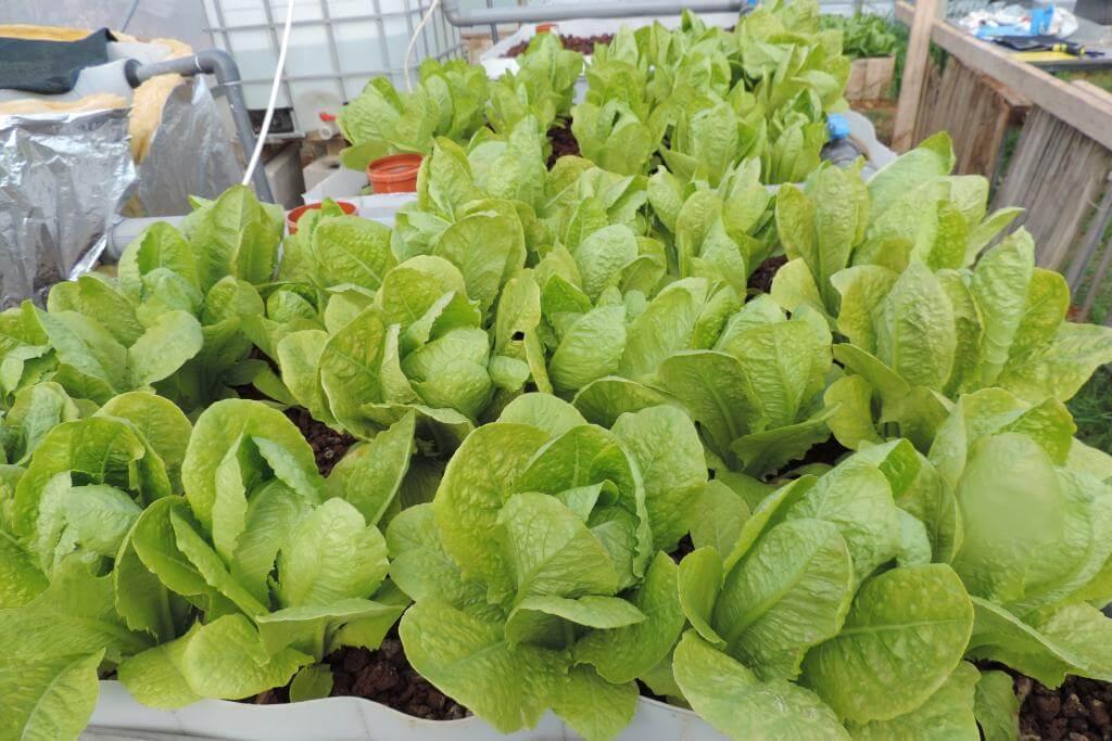 Salat aus den Aquaponik-Anlagen in Palästina-Bethlehem
