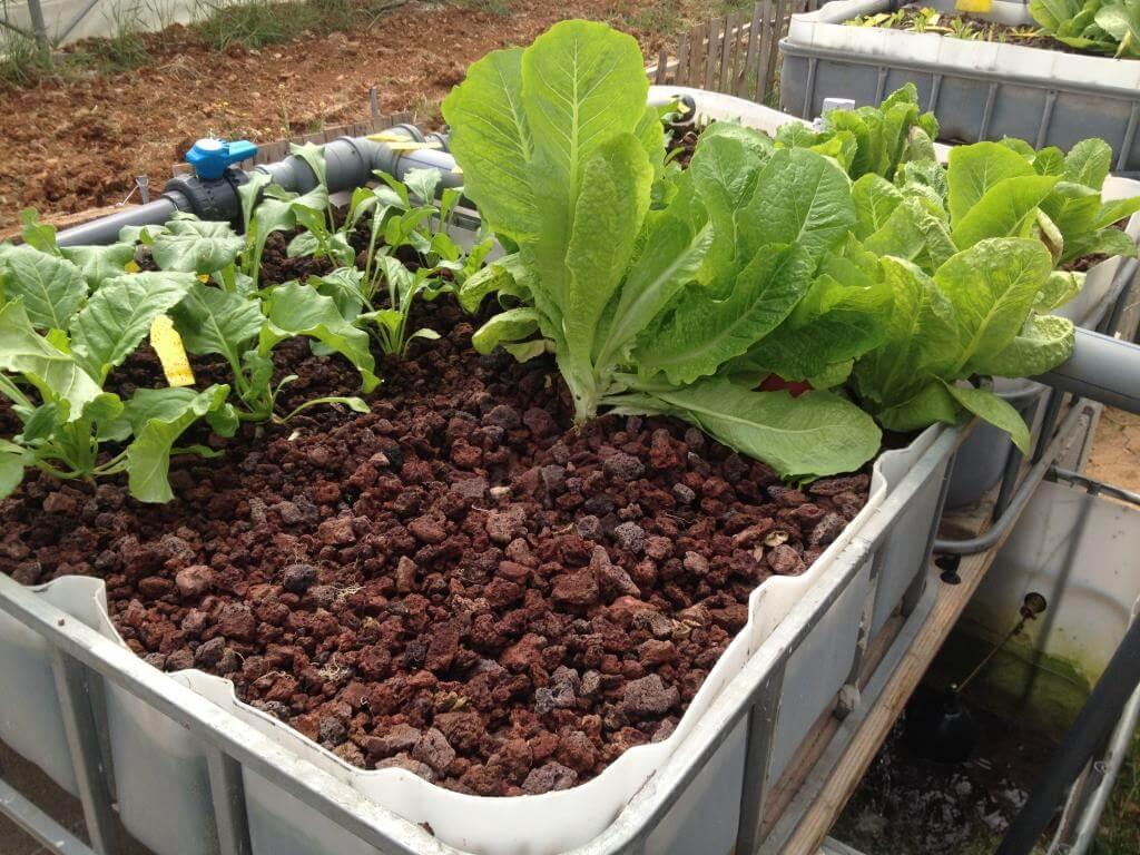 Salat und Krautstiel von den Aquaponik-Anlagen