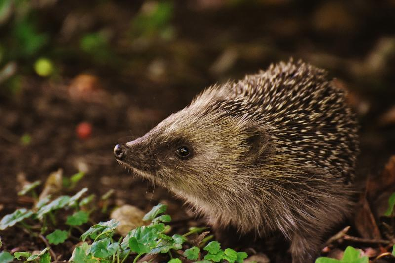 Igel in der Natur