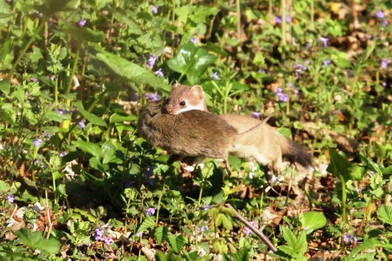 Hermelin mit Maus