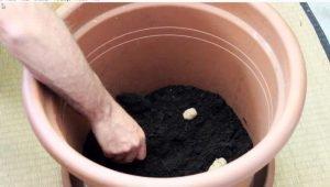 Kartoffelturm: Kartoffel auf Erde legen