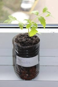 Tomatenpflanze in einer PET-Flasche