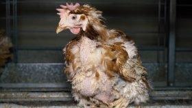 Huhn gerupft