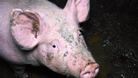 Trauriges Schwein