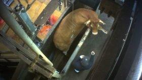 Schlachthof: Rind versucht zu fliehen