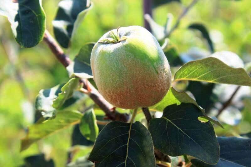 Apfel aus Gea Viva PK-Garten