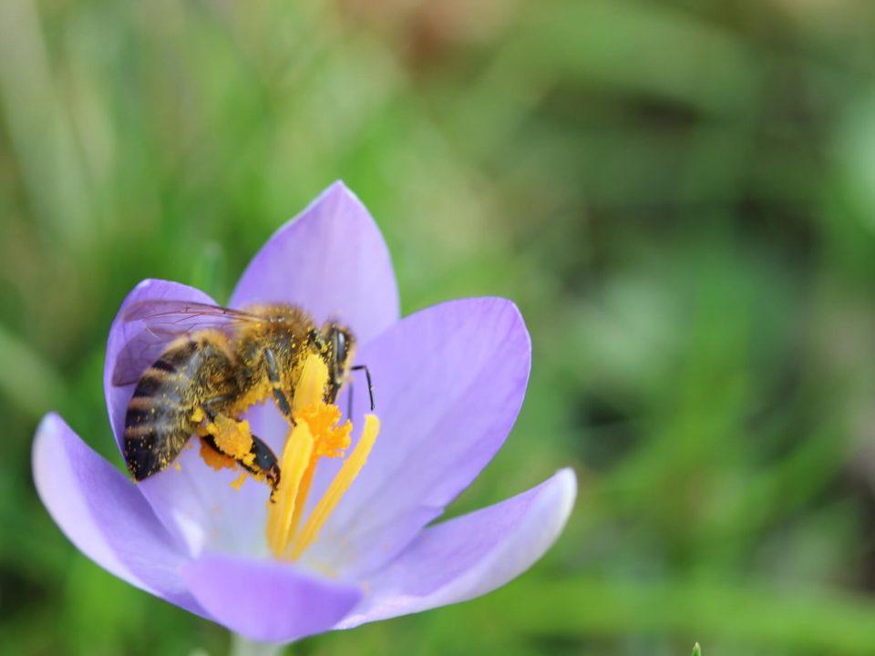 Bienen mit Pollen an den Beinen