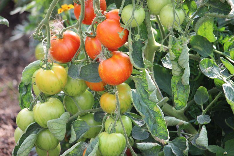 Tomaten auf Stamm